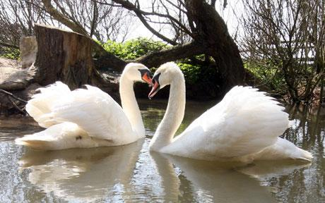2 Homosexual Male Swans Debase British Enclave With Adorable Romance