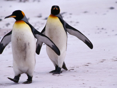 Gay Penguin Relationships As Fragile, Short-Lived As Yours