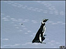 The Loneliest Penguin?