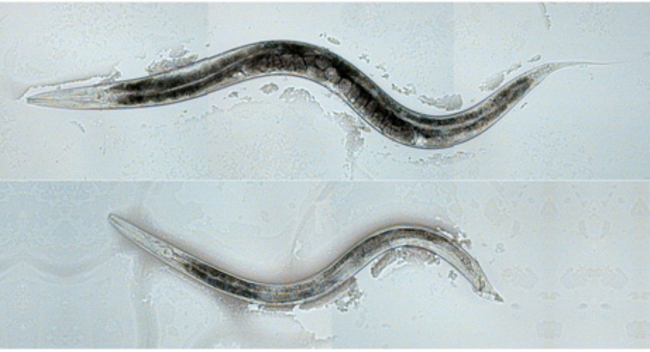 Scientists Switch Worm Genes, Make Gays