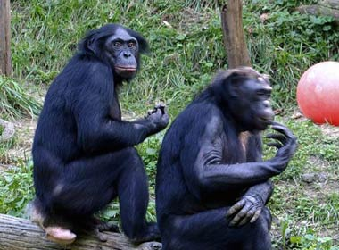 gay_bonobo_chimp_03_10