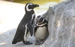 SHOCK: Gay Penguins Harry and Pepper Split … Over a Girl
