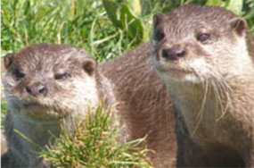 The Male Otter Who Died of Heart Break An Hour After His Buddy's Death