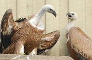 Surprise: The 2 Gay Vultures German Zookeepers Ripped Apart Won't Mate With The Ladies Forced Upon Them