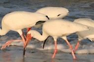 If Mercury Poisoning Makes White Ibises Gay, Will Zinc Poisoning Turn Flamingos Straight?
